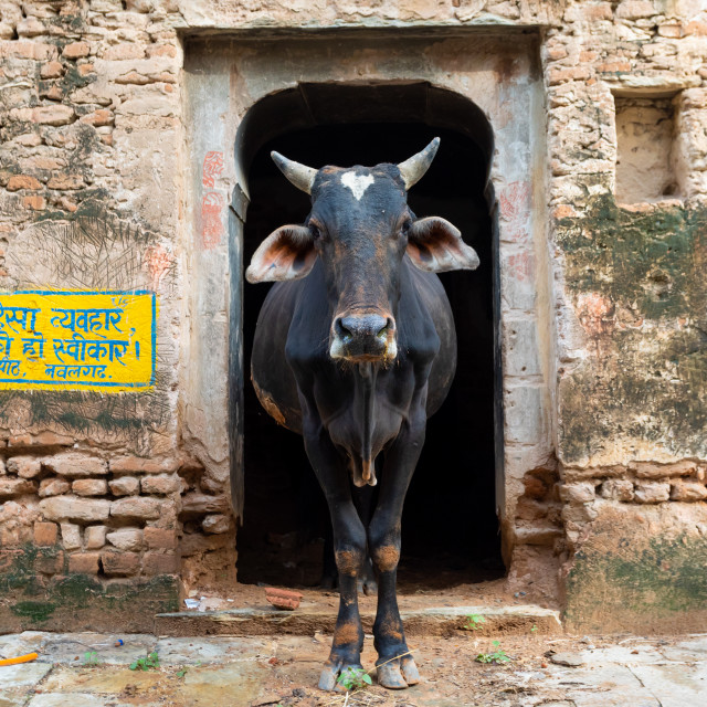 """Cow in the street looking at camera, Rajasthan, Nawalgarh, India"" stock image"