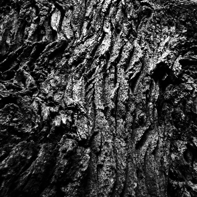 """""""Old oak in black and white"""" stock image"""