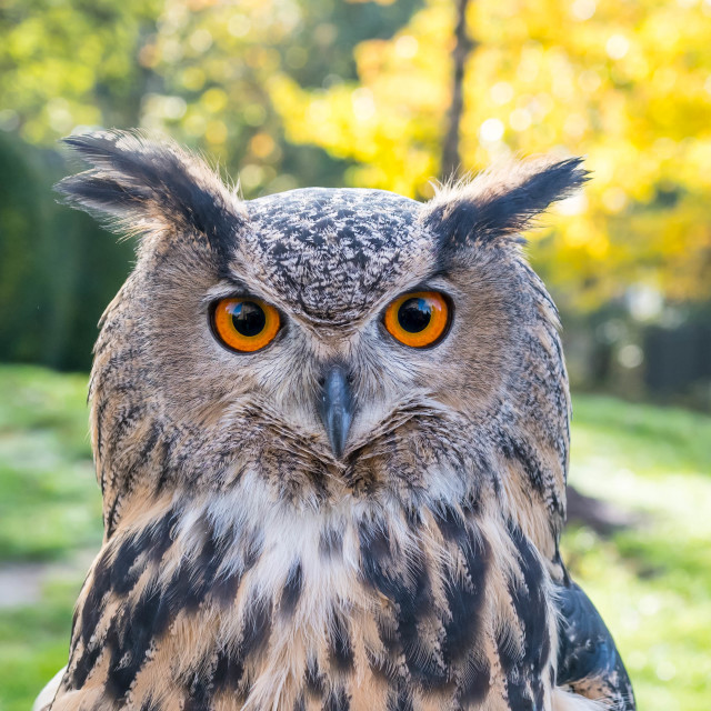 """Eurasian eagle-owl"" stock image"