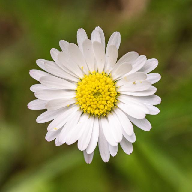 """Daisy mite"" stock image"