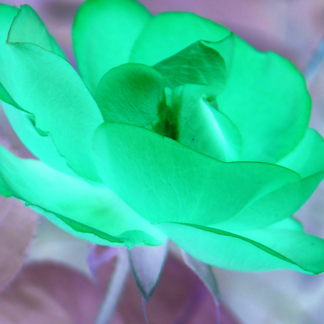 """""""October Rose in green"""" stock image"""