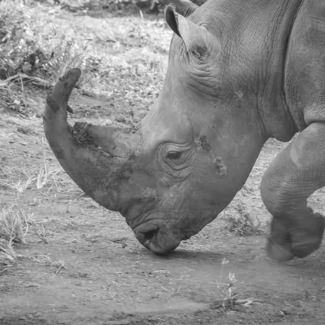 """""""Rhino"""" stock image"""