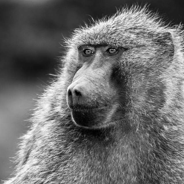 """""""Baboon Black and white"""" stock image"""