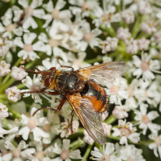 """Tachinid Fly"" stock image"