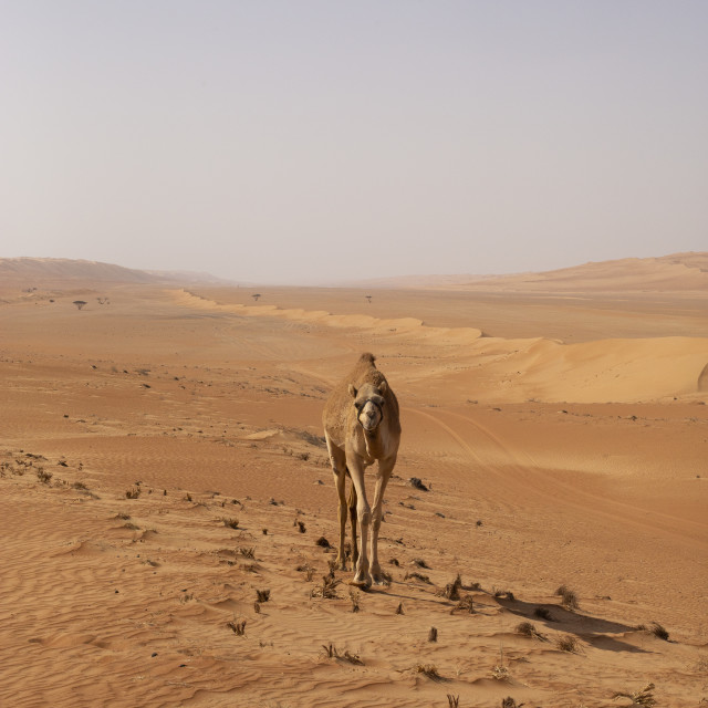 """Camels in the desert"" stock image"