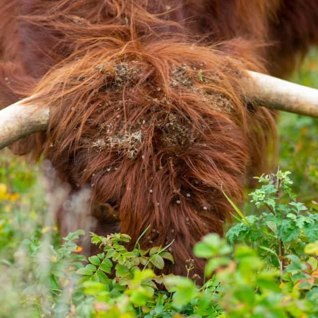 """Scottish Highlander Bull"" stock image"