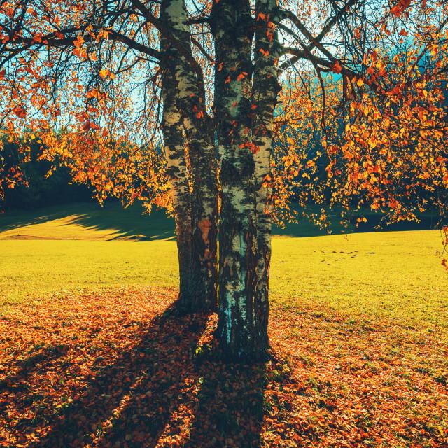 """Autumn trees and orange leaves . Fall. Autumnal Park. Autumn sce"" stock image"