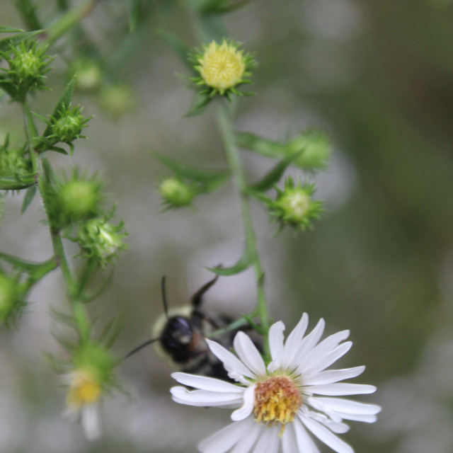 """""""bee on a white flower"""" stock image"""