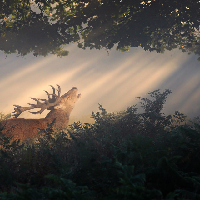 """Stag in sunbeams"" stock image"