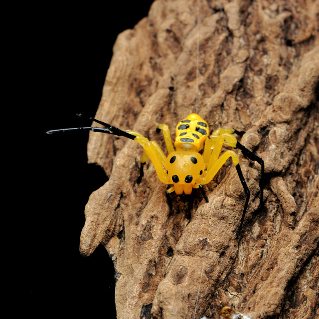 """Yellow Crab Spider"" stock image"