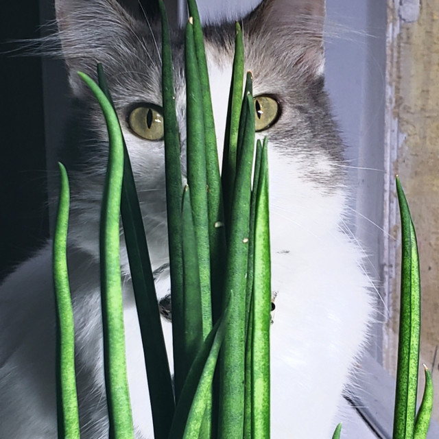 """""""Portrait of a cat staring from behind a plant"""" stock image"""