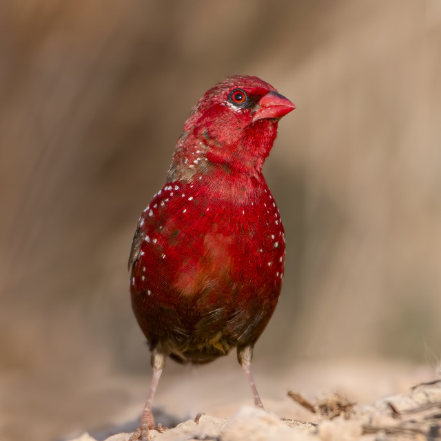 """Gorgeous Looking Bird The red avadava closeup"" stock image"