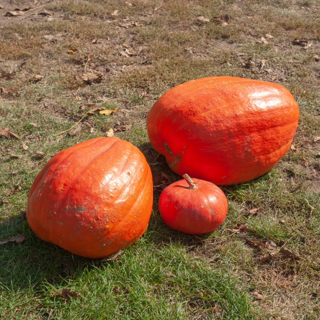 """""""Three orange – reddish pumpkins large and small size from fresh harvest laying on grass in autumn garden"""" stock image"""