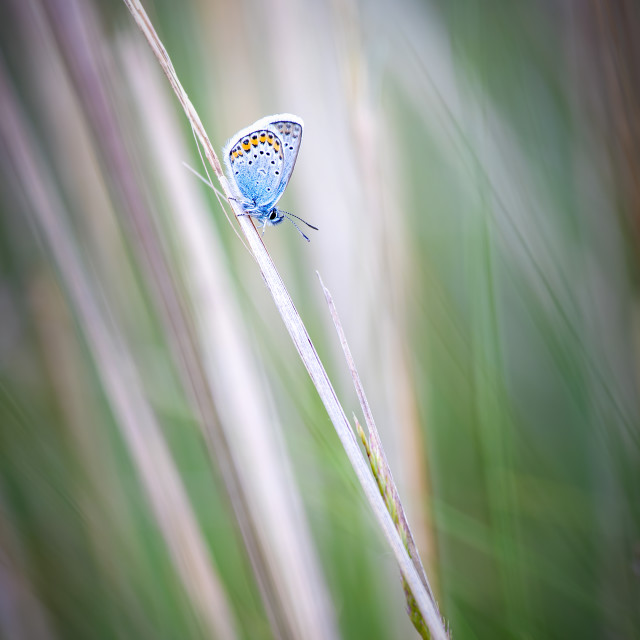 """""""Close up picture from a nice common blue butterfly on the meadow"""" stock image"""