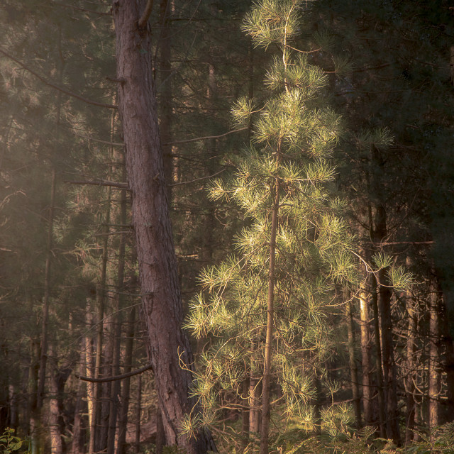"""""""Ainsdale Pine"""" stock image"""