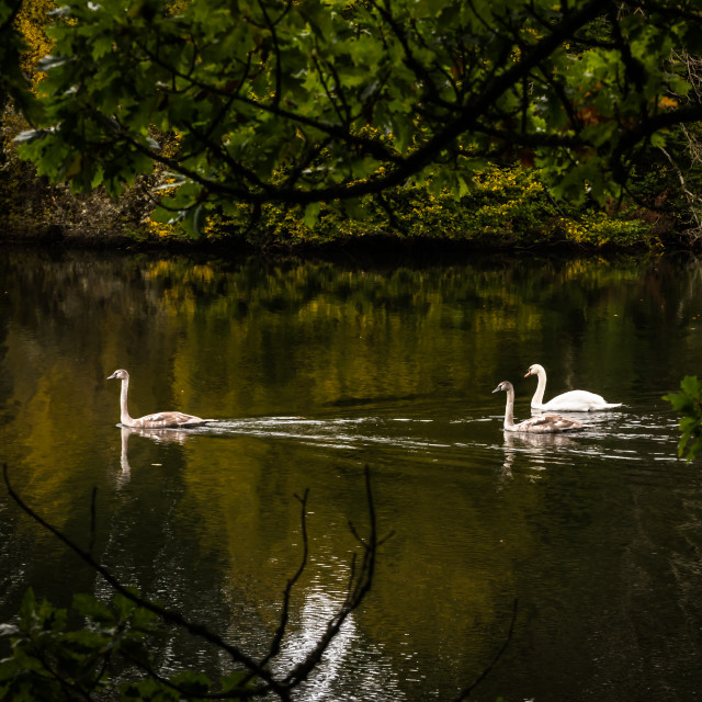 """""""Swan and maturing cygnets swimming"""" stock image"""