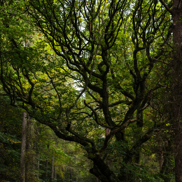 """""""A Gnarled Tree"""" stock image"""