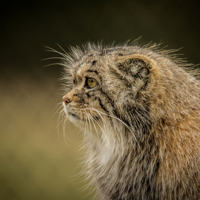"""Profile of a Pallas Cat"" stock image"