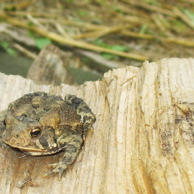 """""""a toad"""" stock image"""