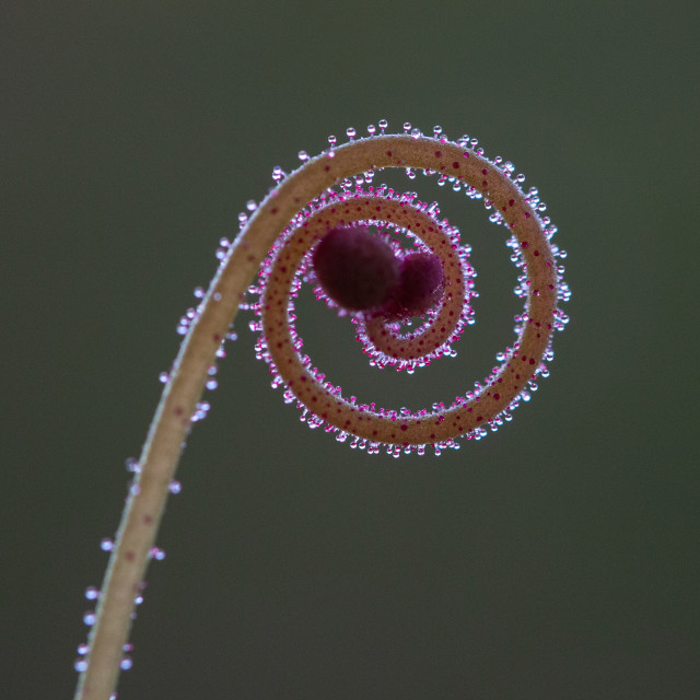 """Sundew curling frond"" stock image"