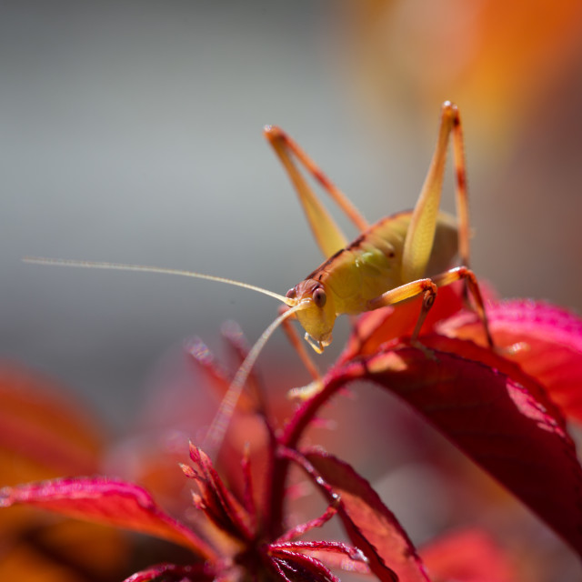 """Katydid on spring Growth"" stock image"