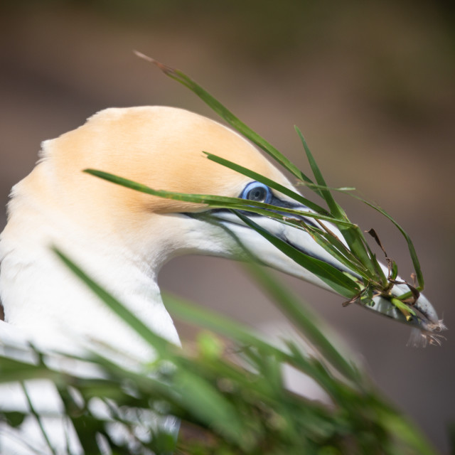"""Nest building Gannet"" stock image"