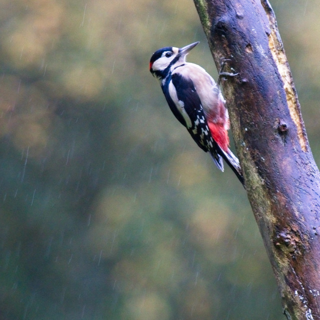 """""""Great Spotted Woodpecker (Dendrocopos major)"""" stock image"""
