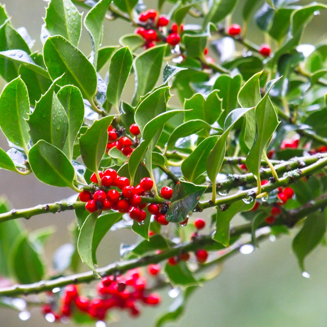 """""""Bright Red Holly Berries"""" stock image"""