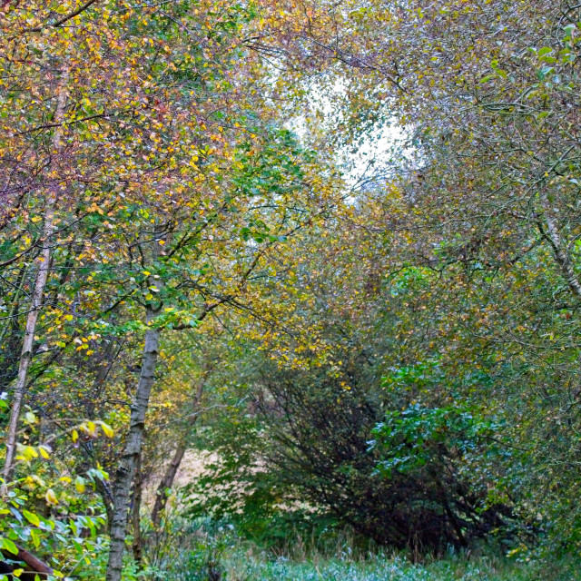 """""""Autumnal Leaf Colours in Woodland Trees"""" stock image"""
