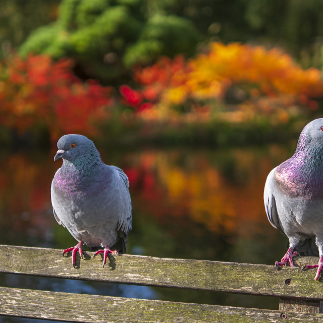 """""""Pigeons sat on bench"""" stock image"""
