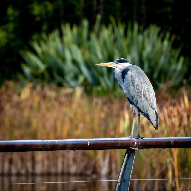 """Grey Heron (Ardea cinerea) on a handrail"" stock image"