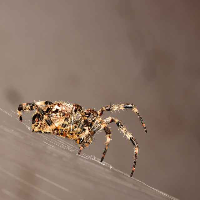 """""""Euroopean Garden Spider on is orb-shaped web"""" stock image"""