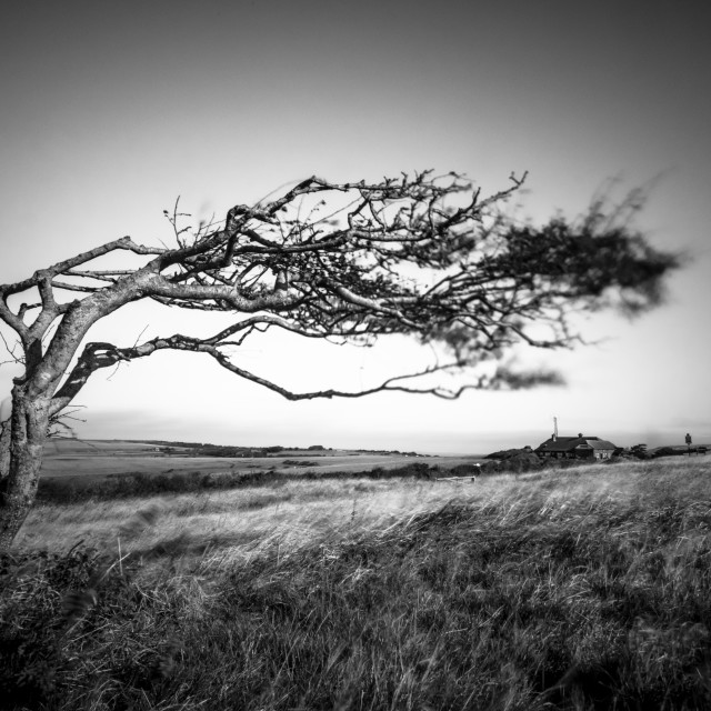 """""""Windswept tree"""" stock image"""