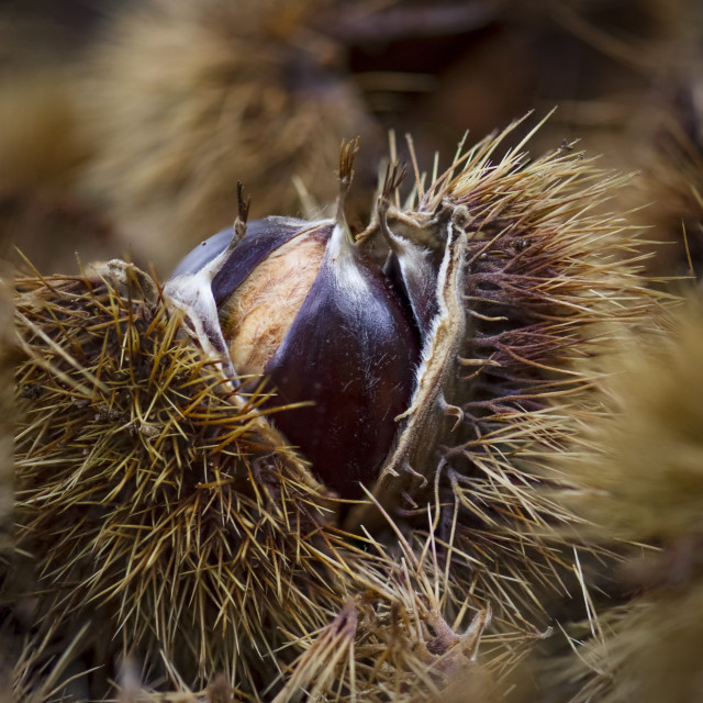 """Close up of Sweet chestnut in shell fallen on ground in autumn."" stock image"