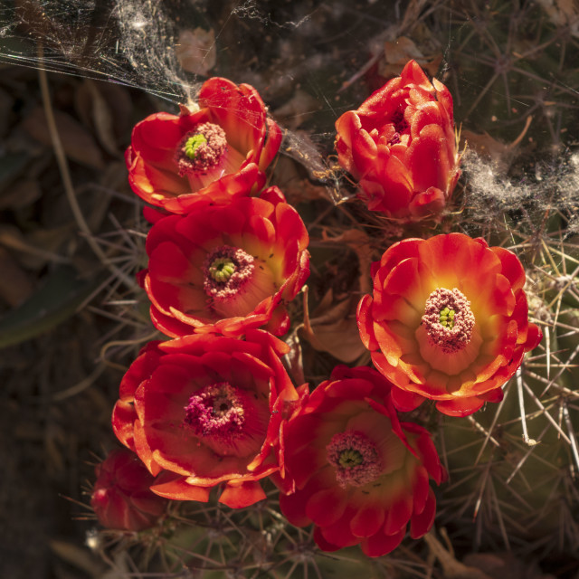 """Albuquerque, New Mexico, Cactus Flowers, 2016"" stock image"