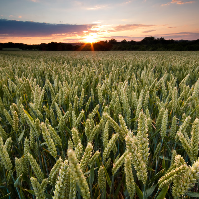 """Harvest sunset"" stock image"