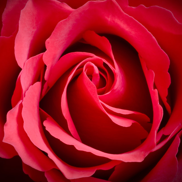 """Red Rose Flower"" stock image"