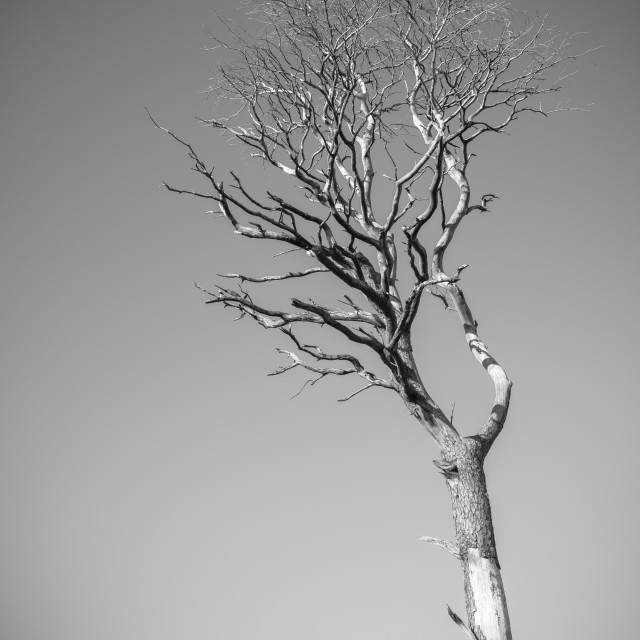 """Dramatic Dead Tree"" stock image"