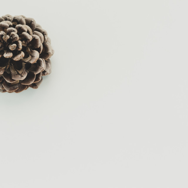 """pine cone on a blank surface"" stock image"