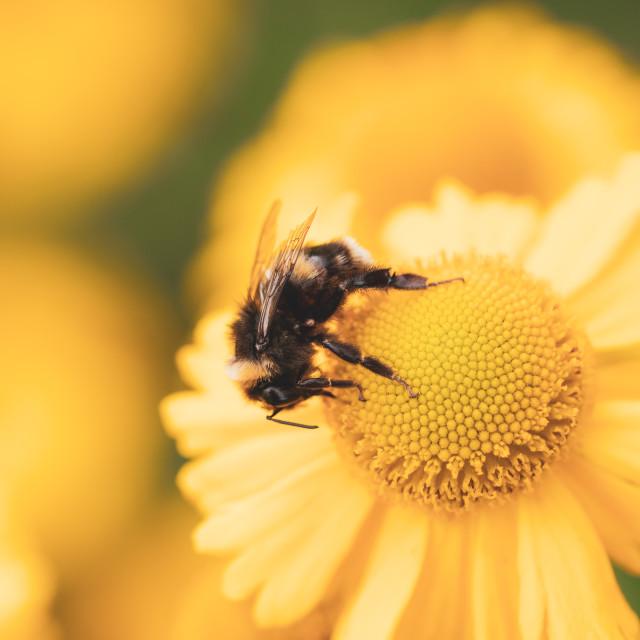"""""""White-Tailed Bumblebee (Bombus lucorum), taken in the UK"""" stock image"""