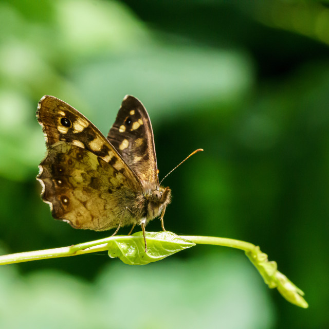 """Speckled Wood Butterfly (Pararge aegeria), in the UK"" stock image"