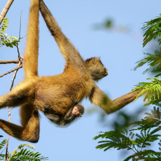 """Geoffroy's spider monkey (Ateles geoffroyi)"" stock image"