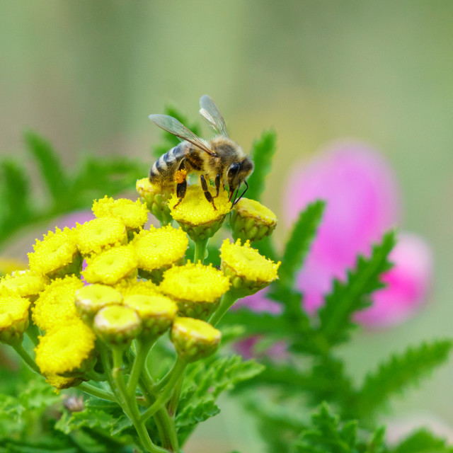 """""""Leafcutter Bees (Megachilidae) in the UK"""" stock image"""