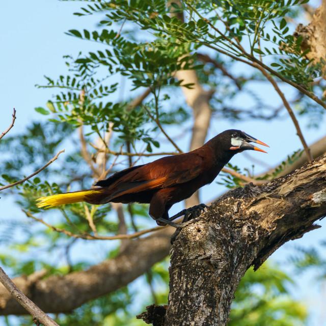 """Montezuma Oropendola (Psarocolius montezuma), taken in Costa Rica"" stock image"