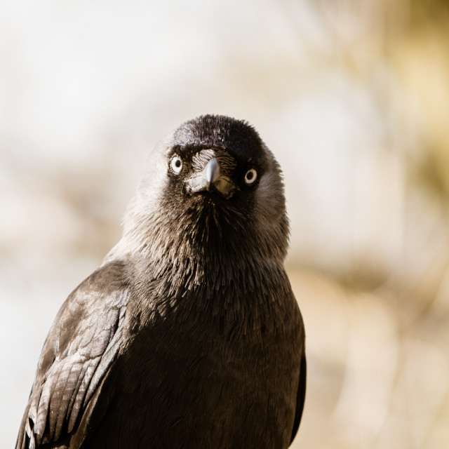 """Jackdaw (Corvus monedula), taken in the UK"" stock image"