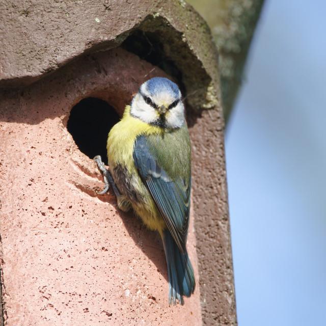 """""""Blue Tit (Cyanistes caeruleus), taken in the UK"""" stock image"""