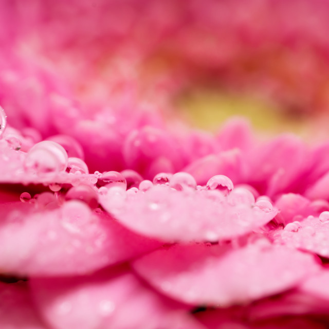 """Gerbera flower petals in pink covered in water droplets"" stock image"