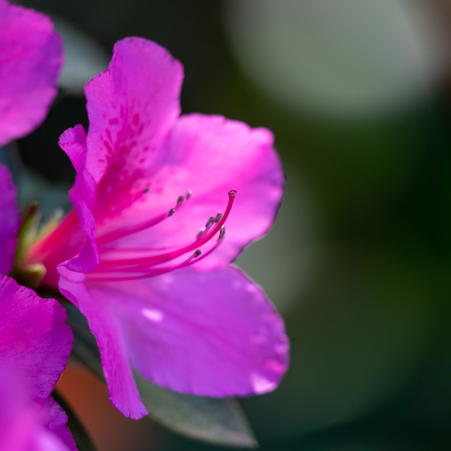 """Rhododendrons flowers in pink color"" stock image"