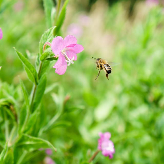 """Honeybee (Apis mellifera) in the UK"" stock image"
