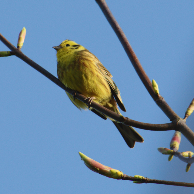 """Yellowhammer and Spring Buds"" stock image"